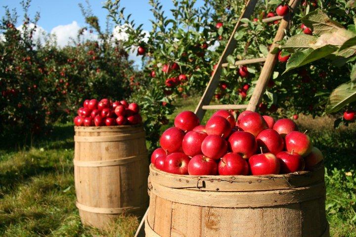 L'expression du jour : « Tomber dans les pommes»